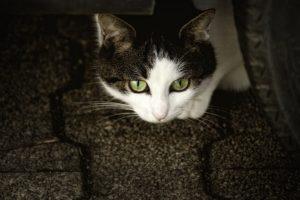 Macska alom